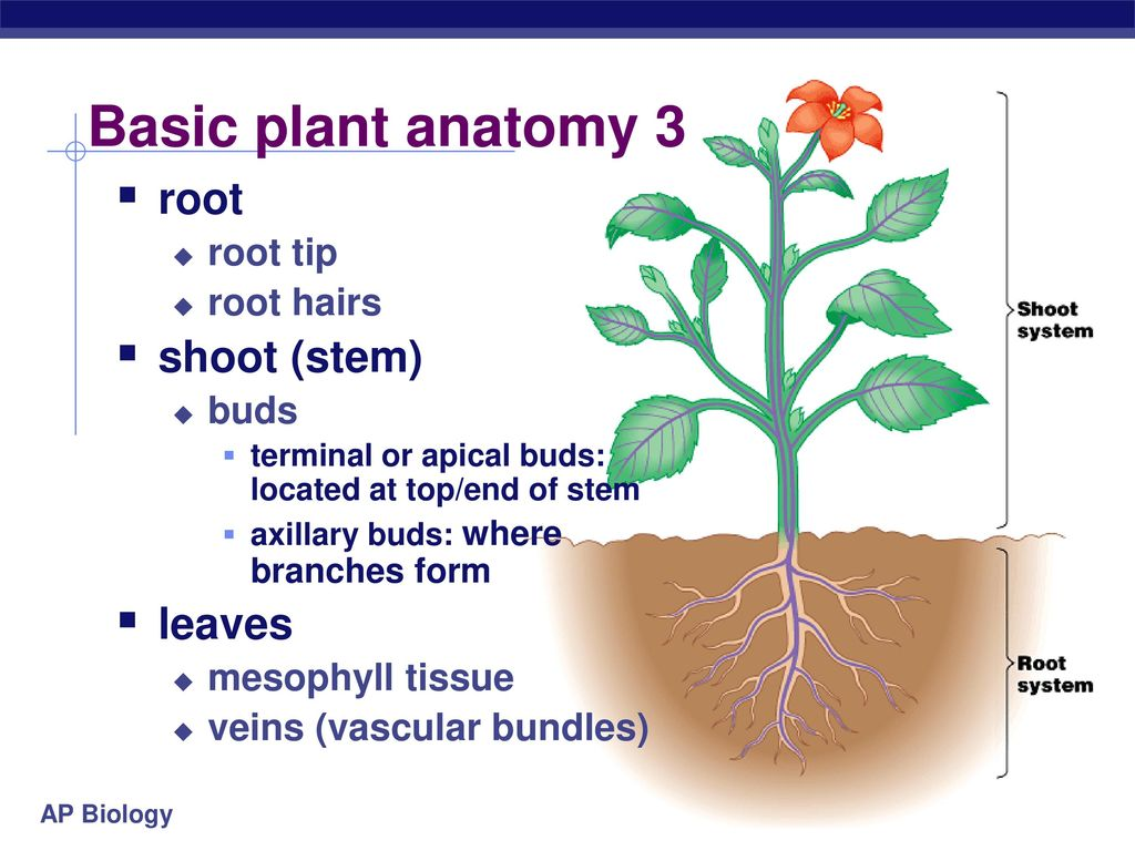 Plant Anatomy Ppt Download