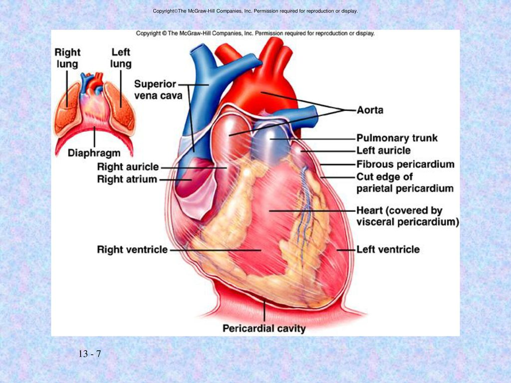 heart diagram mcgraw best wiring library Heart Diagram Black and White copyrightthe mcgraw hill companies, inc