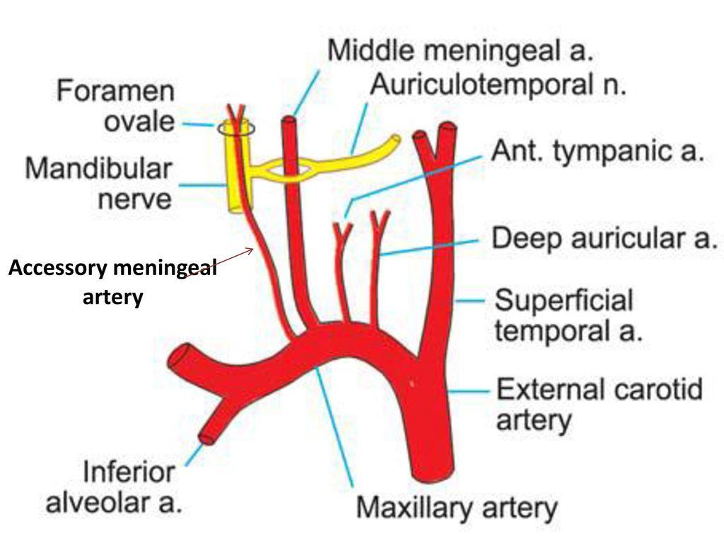 Berühmt Meningea Arterie Anatomie Fotos - Menschliche Anatomie ...