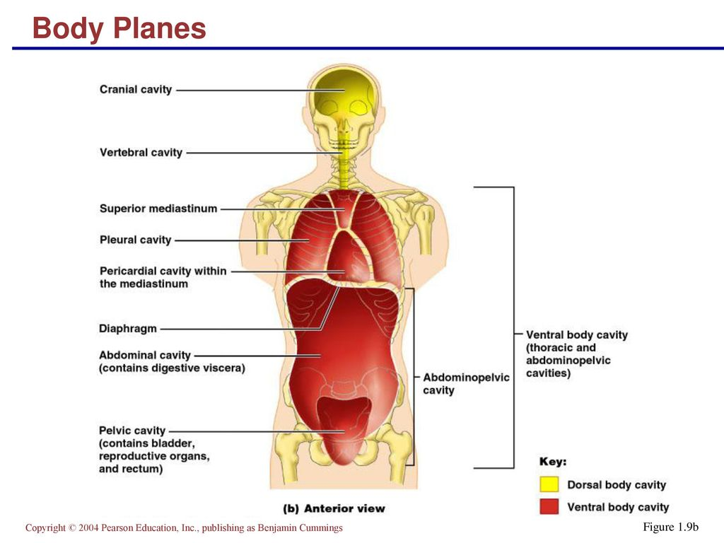 The Human Body: An Orientation Part B - ppt download