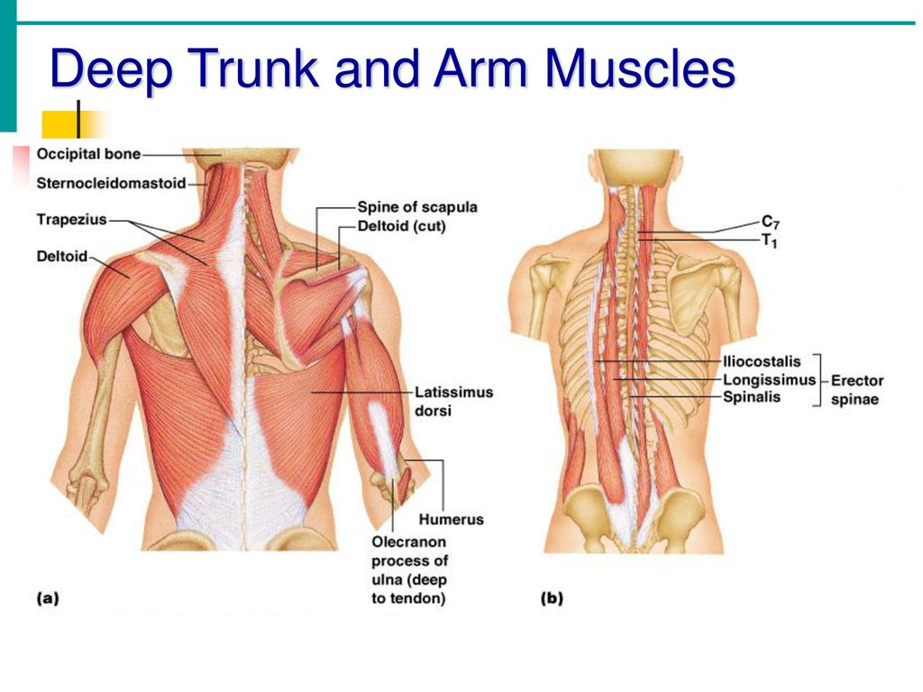 Trunk Muscles. - ppt download