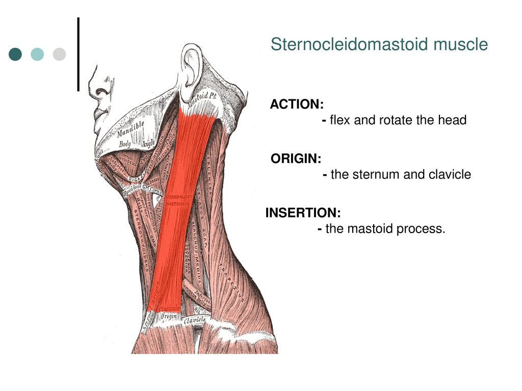 Fantastic Scm Muscle Adornment - Physiology Of Human Body Images ...
