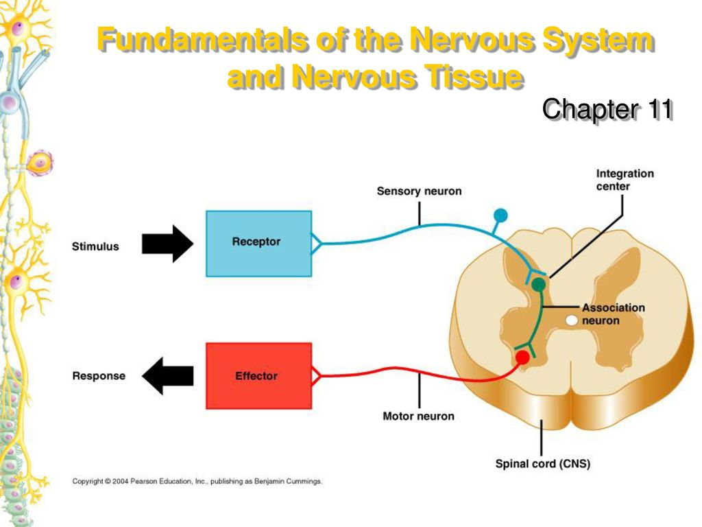 fundamentals of the nervous system and nervous tissue - ppt download