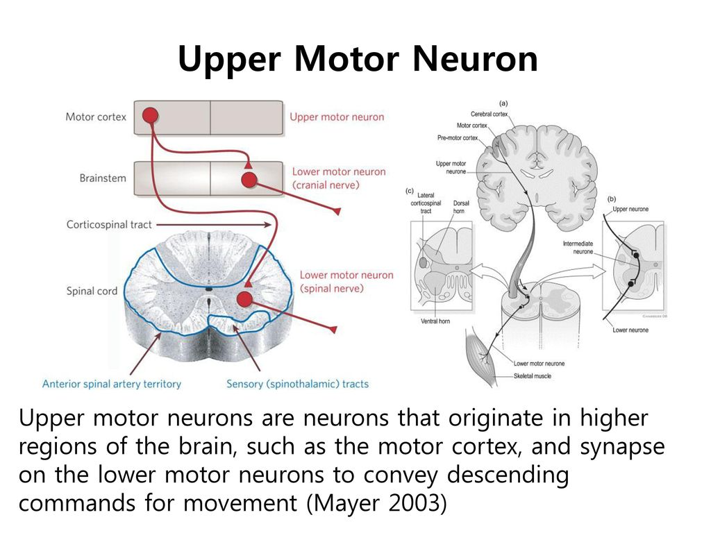 Upper Motor Neuron upper motor neuron.
