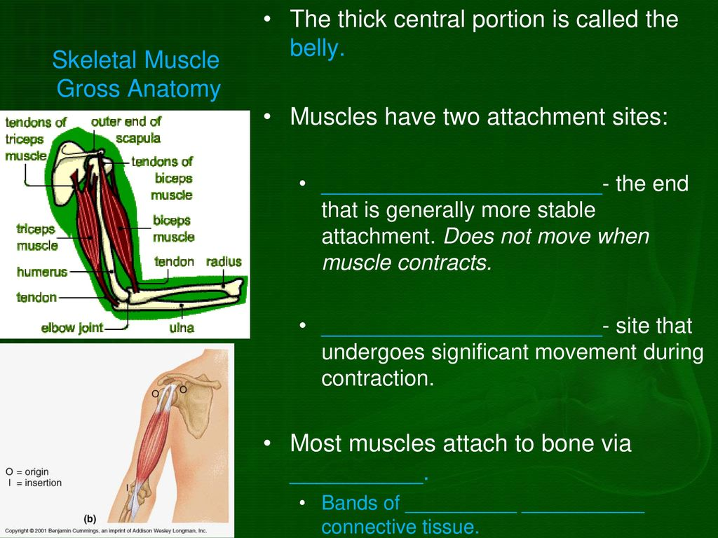 The Muscular System Chapter ppt download