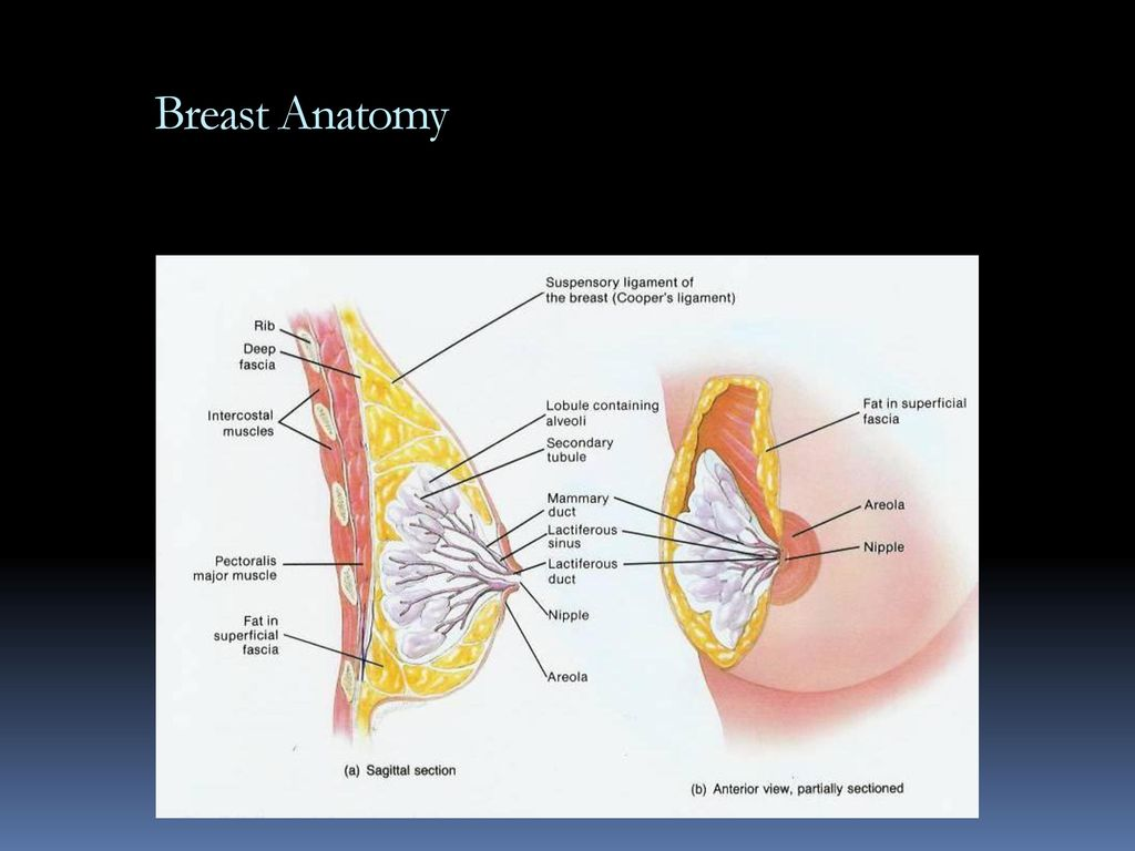 Famous Anatomy Of Areola Sketch - Human Anatomy Images ...