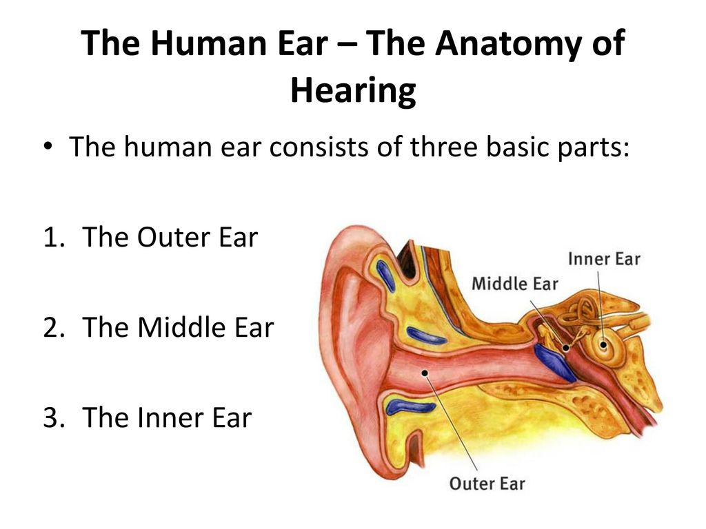 Human Ear Anatomy And Hearing Ppt Download