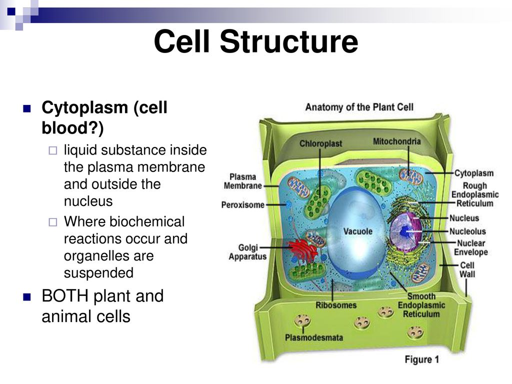 Funky The Anatomy Of An Animal Cell Vignette - Anatomy and ...