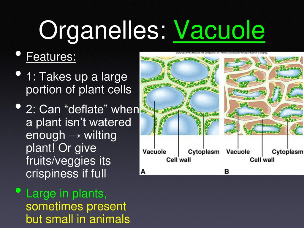 Created By Mr Woodbury Modified Mrs Slater Ppt Download Plants Cells Diagram 36 Organelles