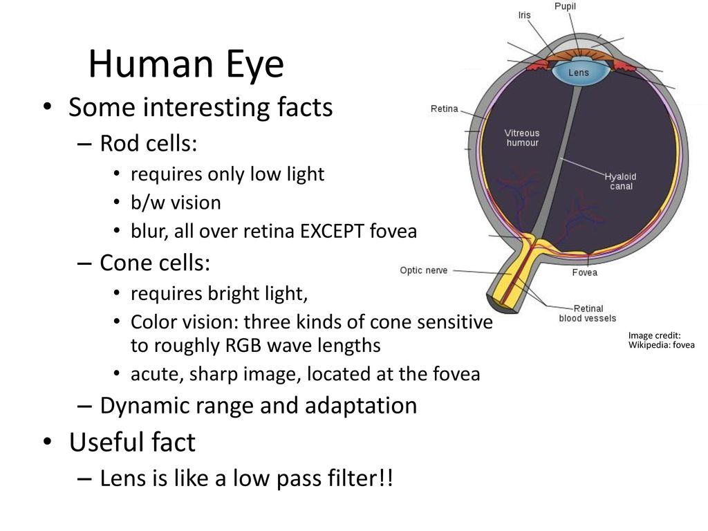 Human Eye Some interesting facts Useful fact Rod cells: Cone cells ...
