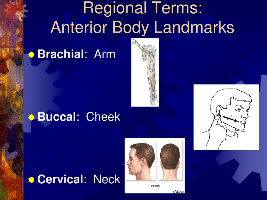 Language of Anatomy Objectives: Demonstrate the Anatomical Position ...