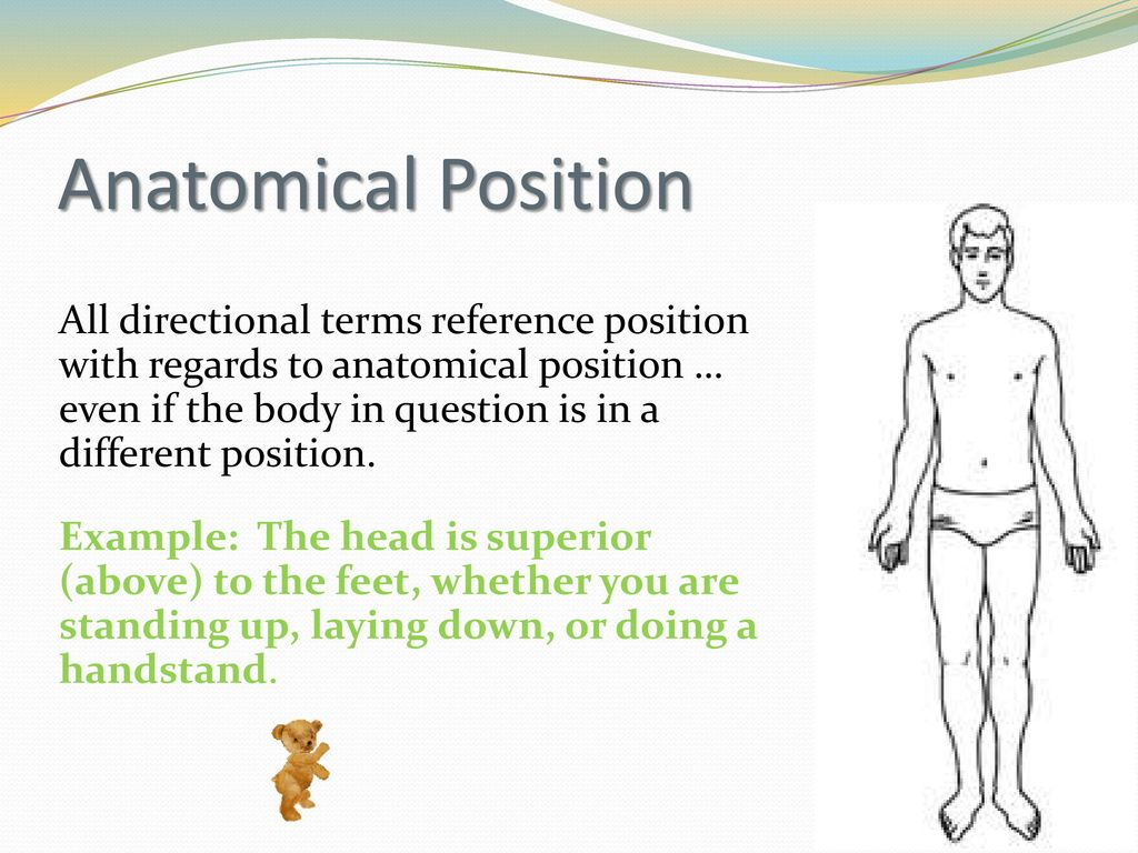 Body Organization: directional terms, regions, sections, planes, and ...