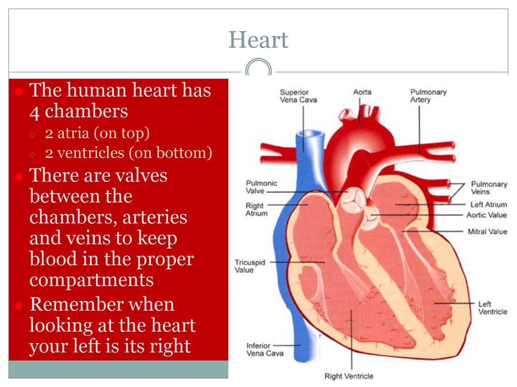 the heart its diseases and functions essay Cardiovascular disease refers to the class of diseases that involve the heart and/or blood vessels (arteries and veins) while the term technically refers to any disease that affects the cardiovascular system, it is usually used to refer to those related to atherosclerosis (arterial disease.