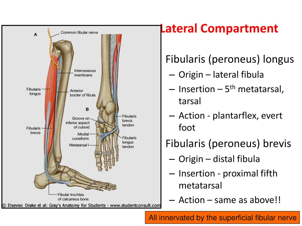 Muscles of the lower extremities - ppt download