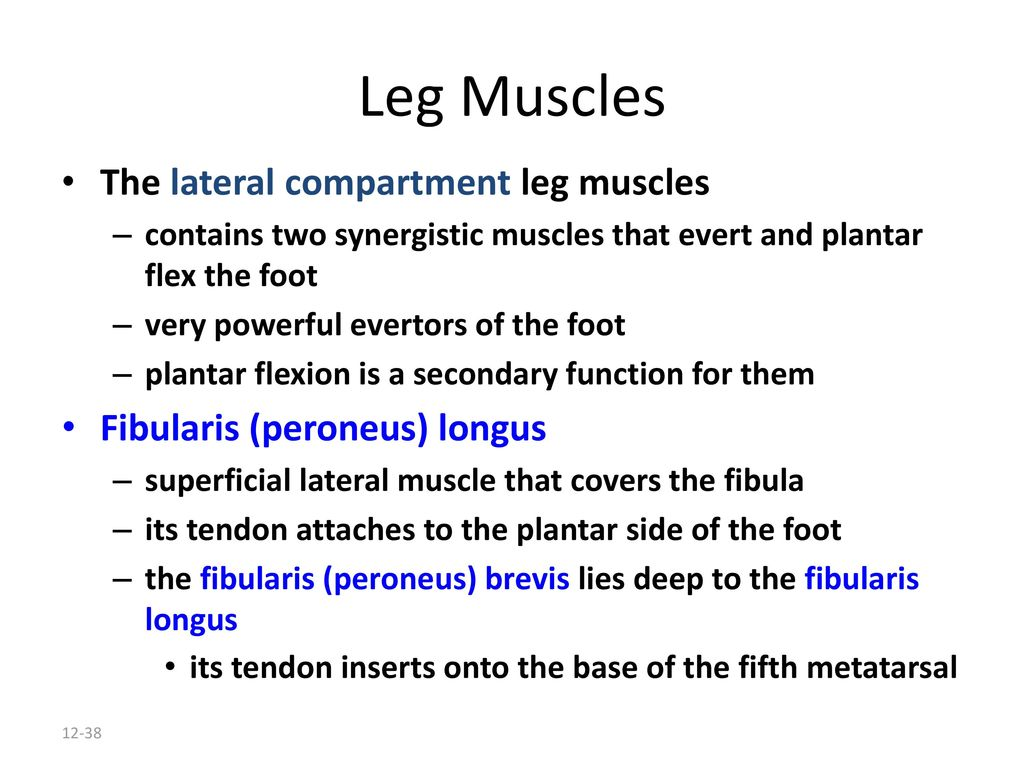 Peroneus Longus Stretching Lateral Linelinea Lateral