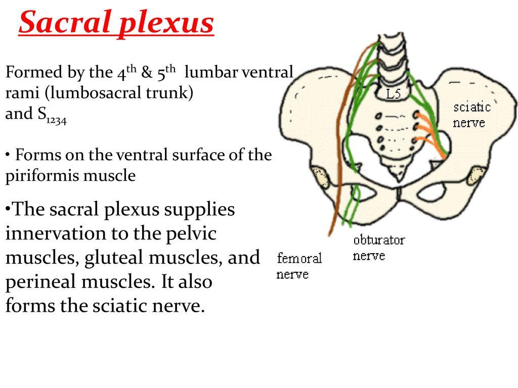 Exelent Sacral Plexus Anatomy Illustration - Physiology Of Human ...
