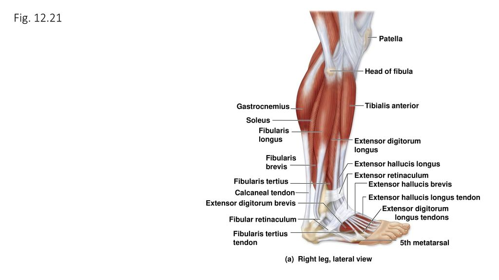 Chapter 12, Part 2 Appendicular Muscles Legs and Hips - ppt download