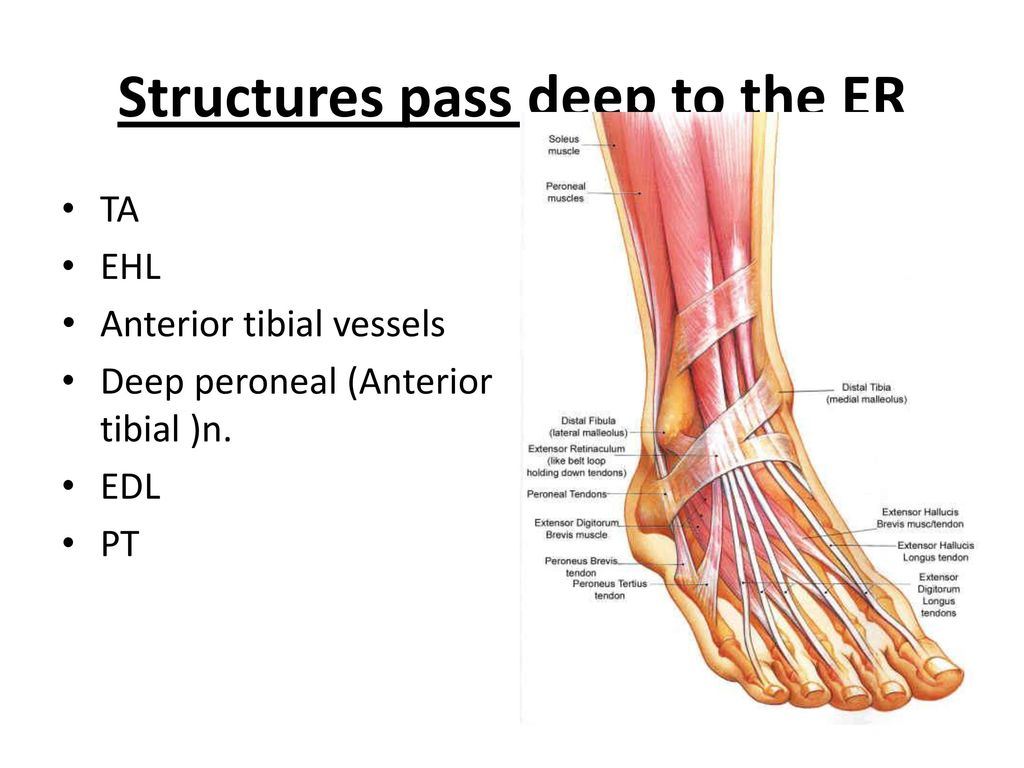 Front of the leg and dorsum of the foot - ppt download