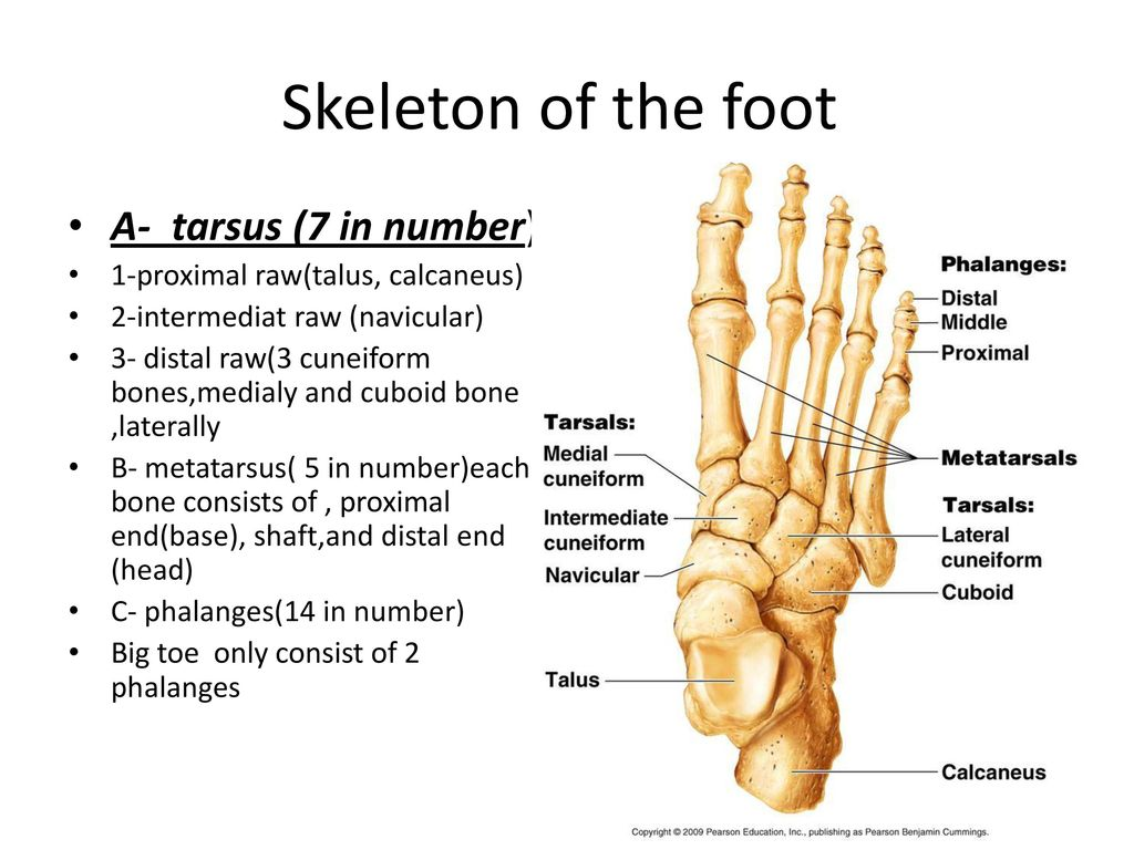 Front Of The Leg And Dorsum Of The Foot Ppt Download