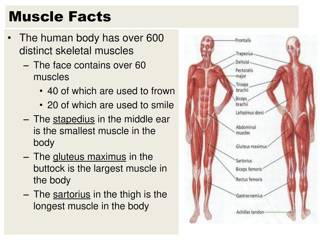 Names Of Muscles Are Descriptive Ppt Download