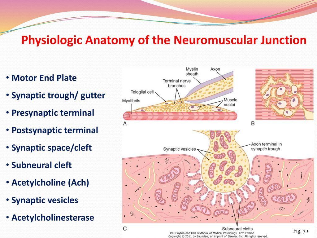 Contraction Of Skeletal Muscle Ppt Download