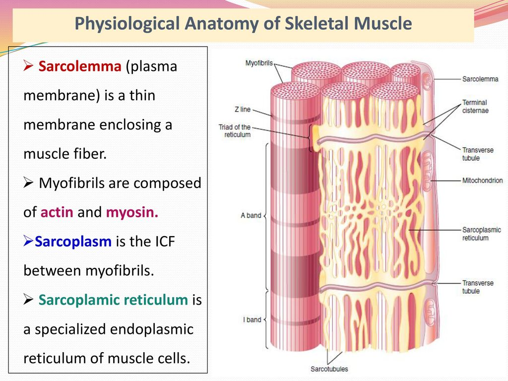 Perfect Anatomy Of Skeletal Muscle Photo - Anatomy and Physiology ...