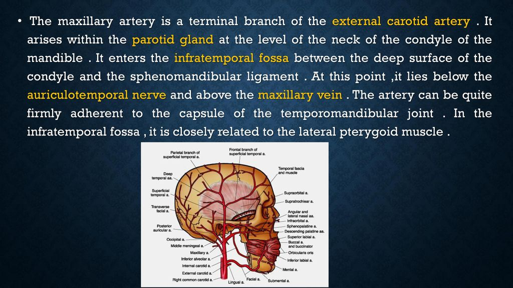 Human Anatomy Maxillary artery - ppt download