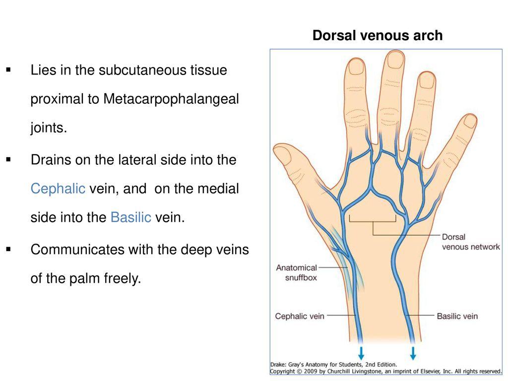 Cephalic Vein Choice Image - human internal organs diagram