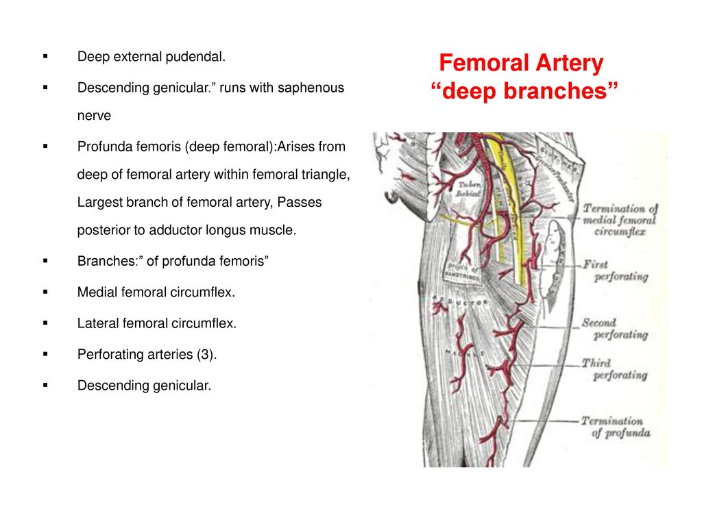 Funky Femoral Artery Branches Photos - Anatomy and Physiology Tissue ...