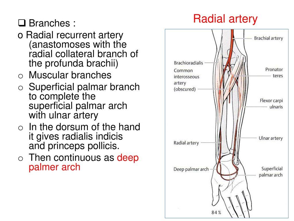 deep palmar artery - HD1024×768