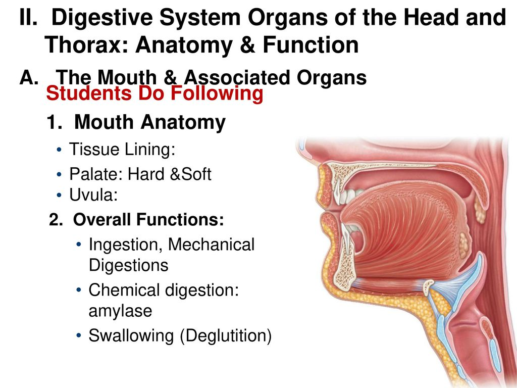 Ch. 23 The Digestive System - ppt download