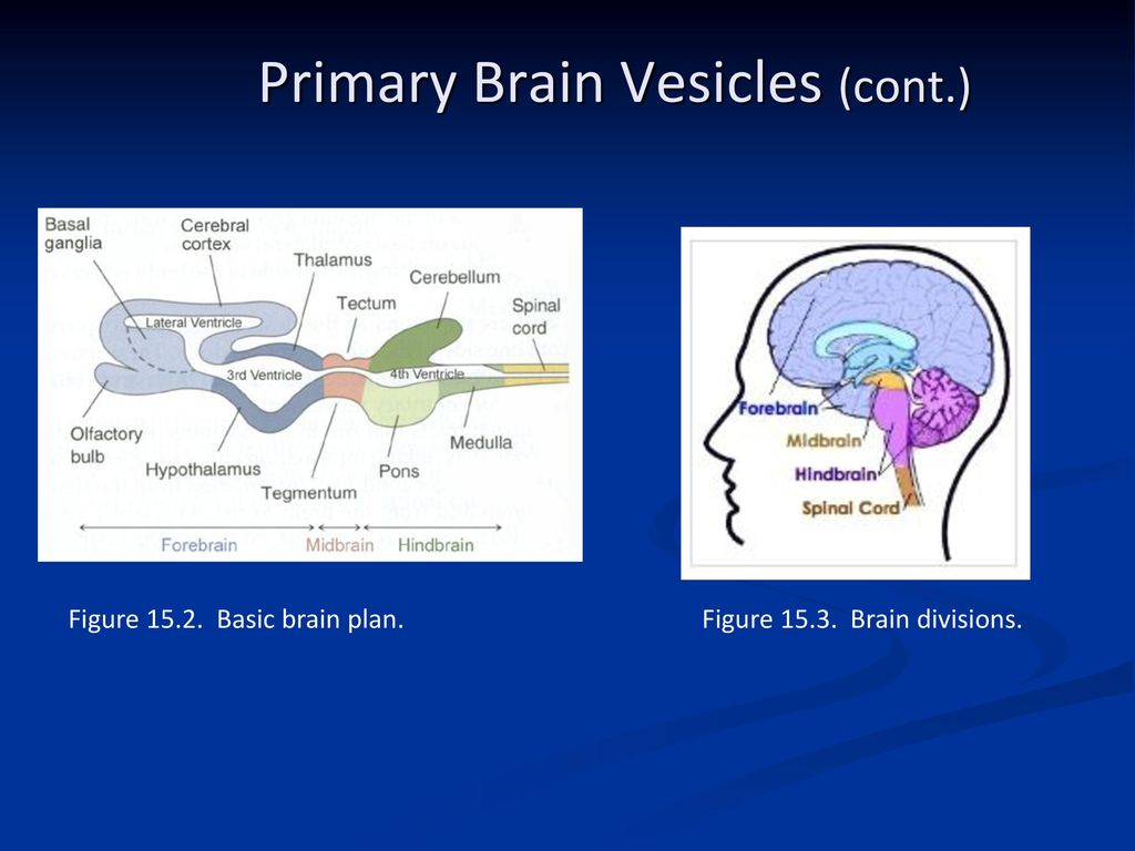 Comparative Anatomy Nervous System - ppt download