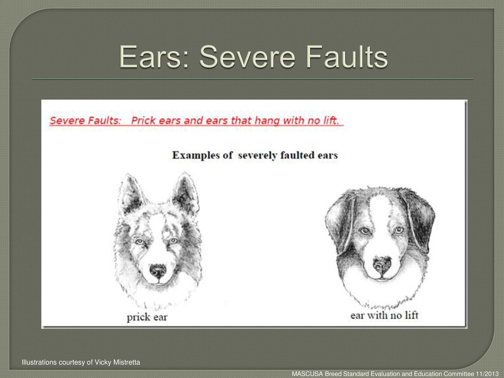 Ears: Severe Faults Illustrations courtesy of Vicky Mistretta