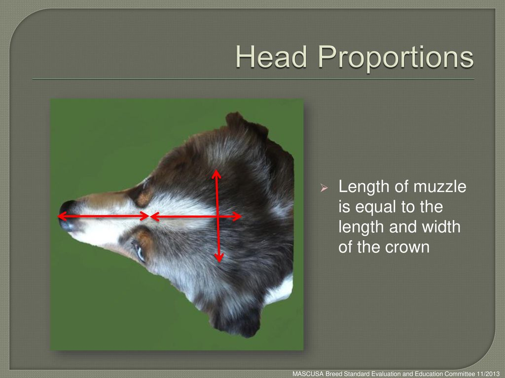 Head Proportions Length of muzzle is equal to the length and width of the crown.