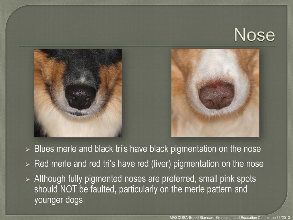 Nose Blues merle and black tri's have black pigmentation on the nose