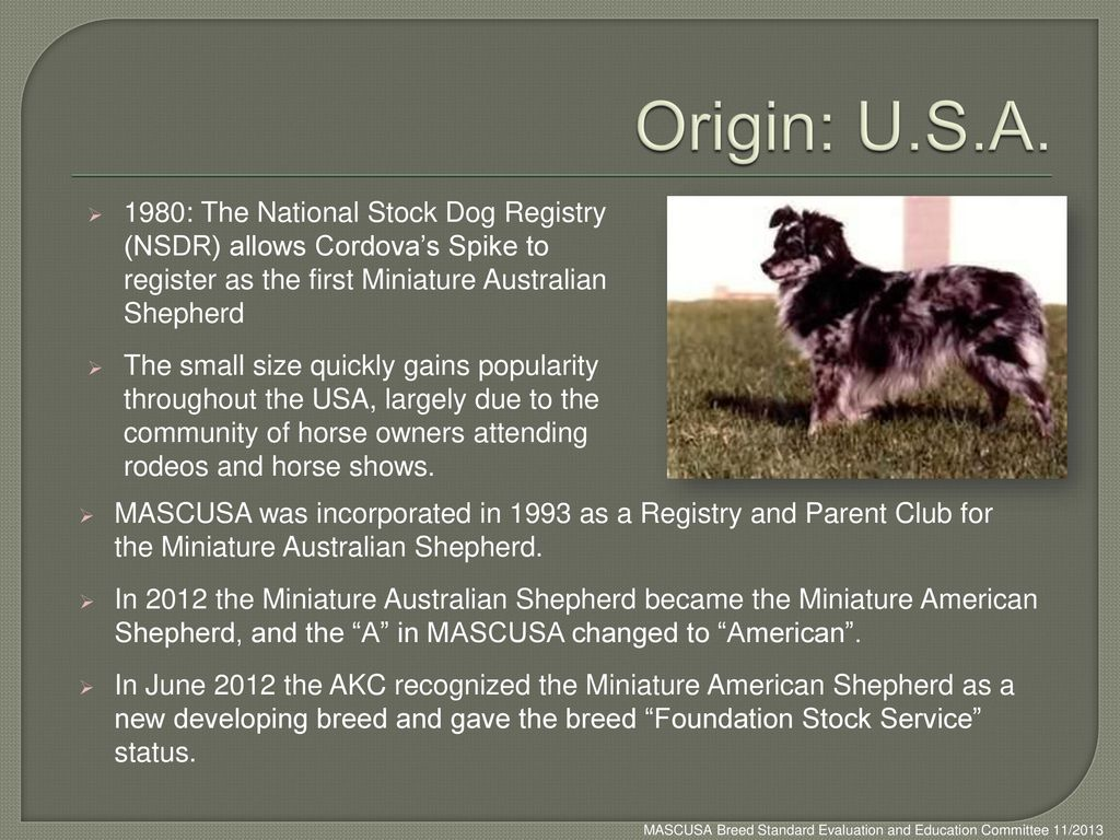 Origin: U.S.A. 1980: The National Stock Dog Registry (NSDR) allows Cordova's Spike to register as the first Miniature Australian Shepherd.
