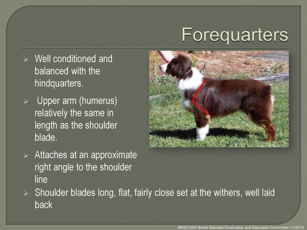 Forequarters Well conditioned and balanced with the hindquarters.