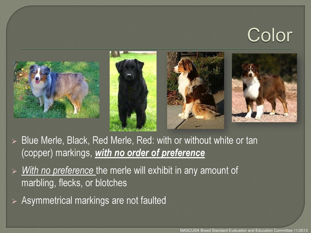 Color Blue Merle, Black, Red Merle, Red: with or without white or tan (copper) markings, with no order of preference.
