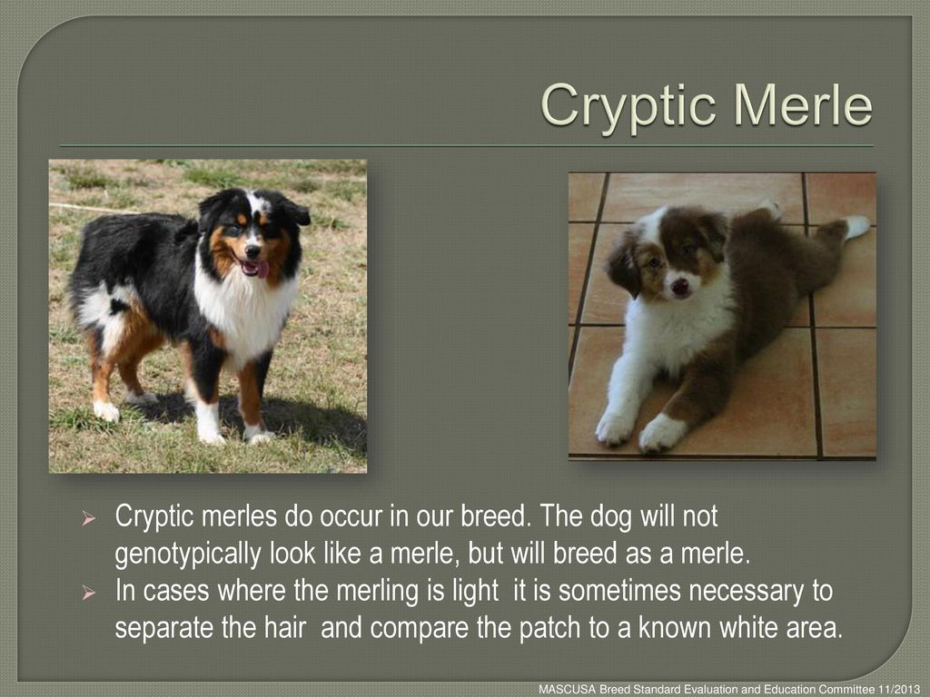 Cryptic Merle Cryptic merles do occur in our breed. The dog will not genotypically look like a merle, but will breed as a merle.