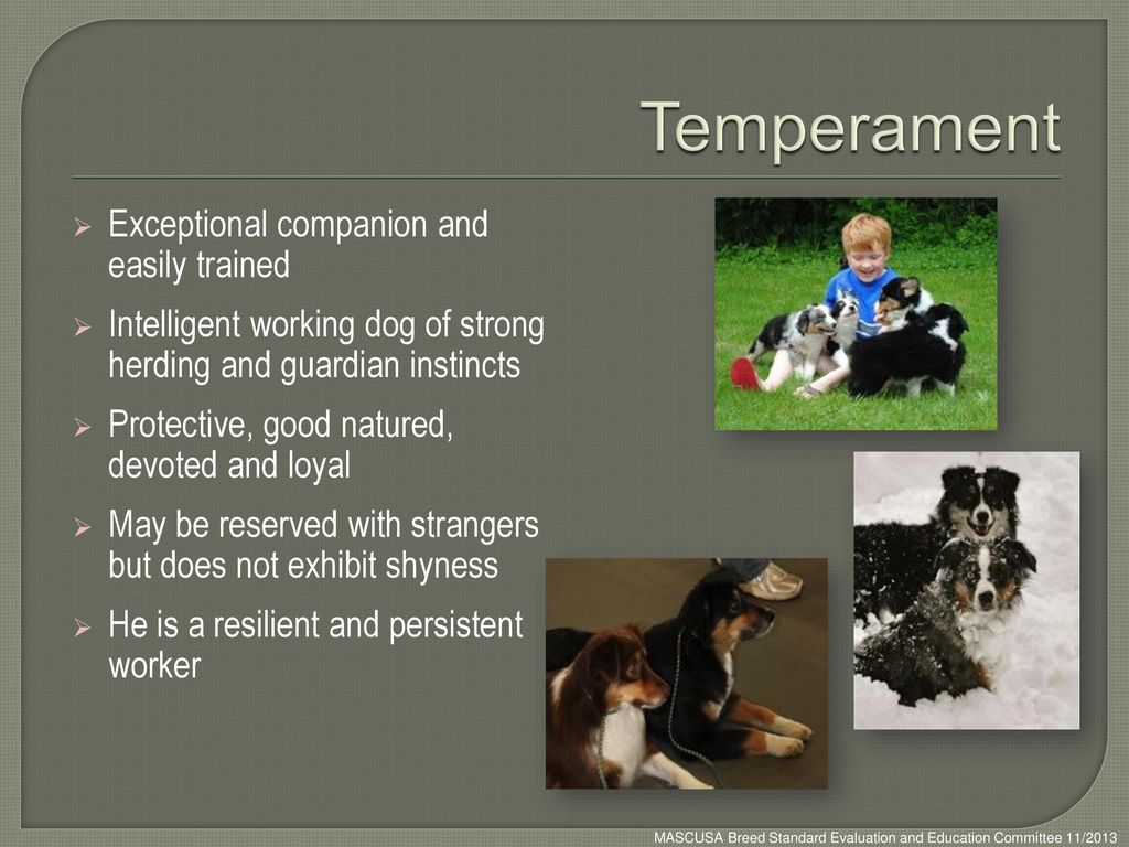 Temperament Exceptional companion and easily trained