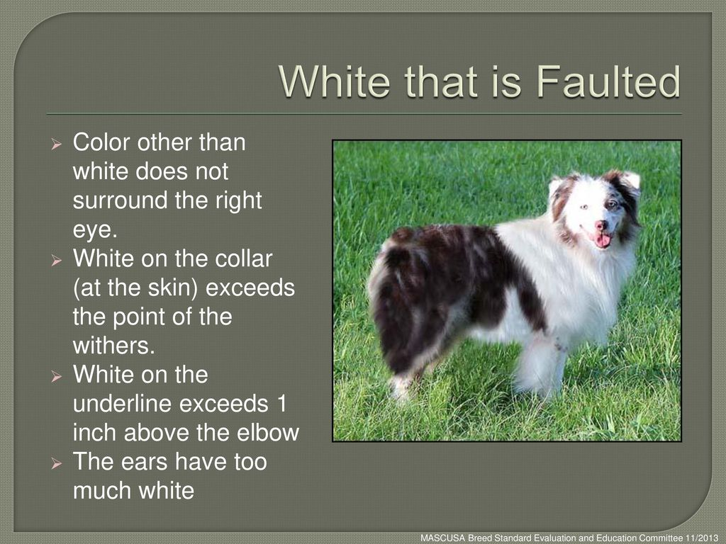 White that is Faulted Color other than white does not surround the right eye. White on the collar (at the skin) exceeds the point of the withers.