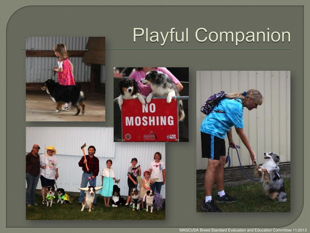 Playful Companion MASCUSA Breed Standard Evaluation and Education Committee 11/2013