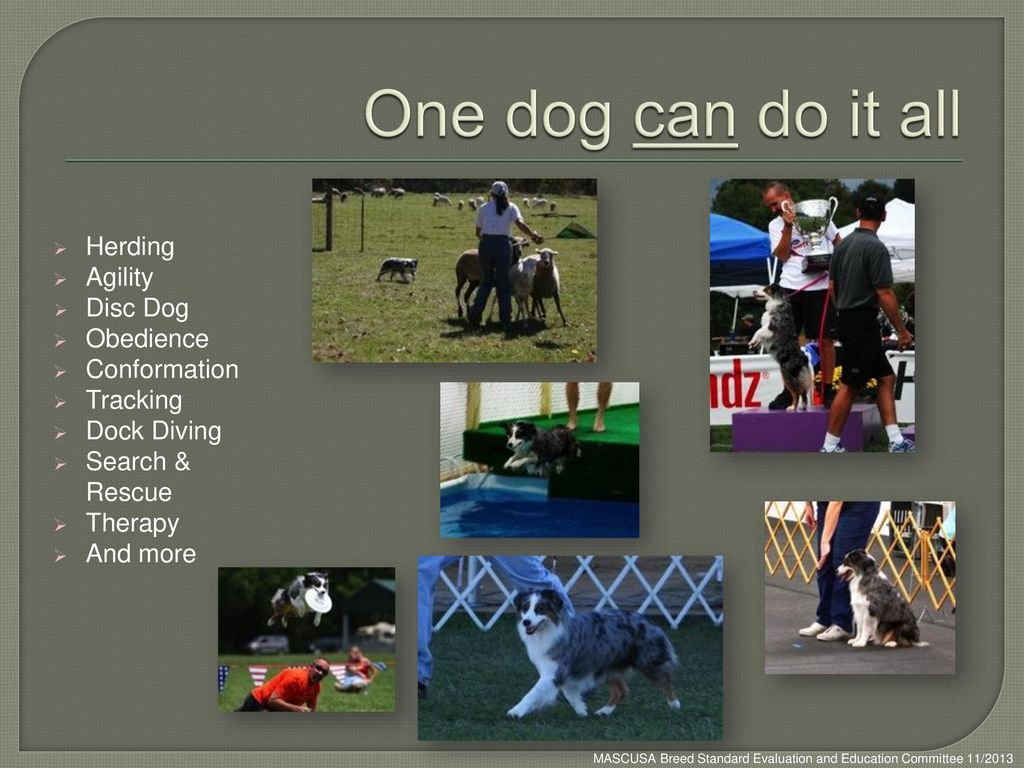One dog can do it all Herding Agility Disc Dog Obedience Conformation