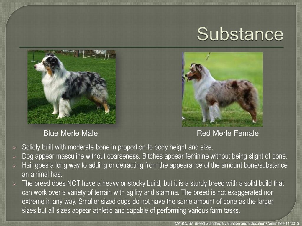Substance Blue Merle Male Red Merle Female