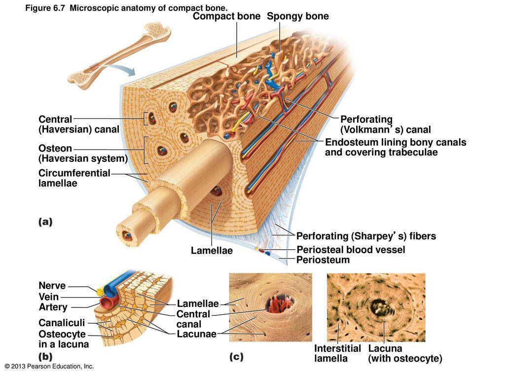 6 Bones and Skeletal Tissues: Revised by Dr. Par Mohammadian. - ppt ...