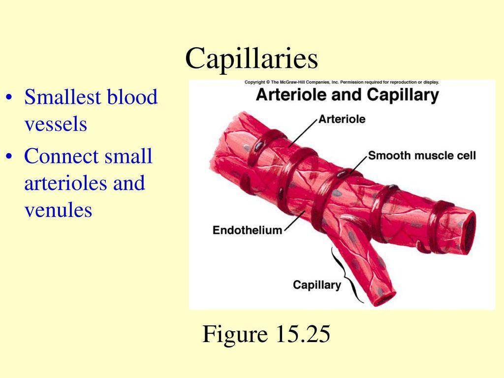 Capillaries Figure Smallest Blood Vessels Ppt Download