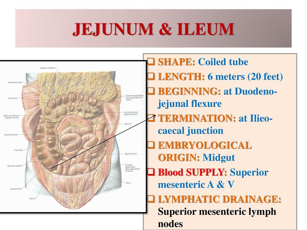 Dorable Ileum Length Illustration - Anatomy and Physiology Tissue ...