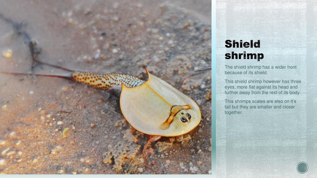 Shield Shrimps By Heidi and Jack  - ppt download