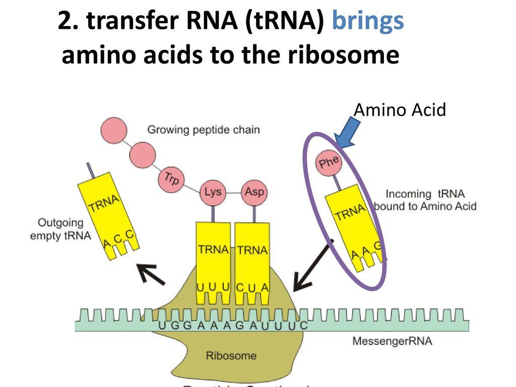 2. transfer RNA (tRNA) brings amino acids to the ribosome blank ribosome diagram www topsimages com