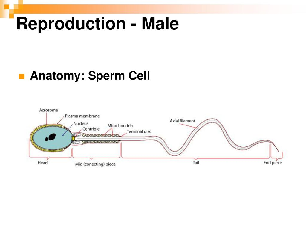 Farm Animal Male Reproduction Ppt Download
